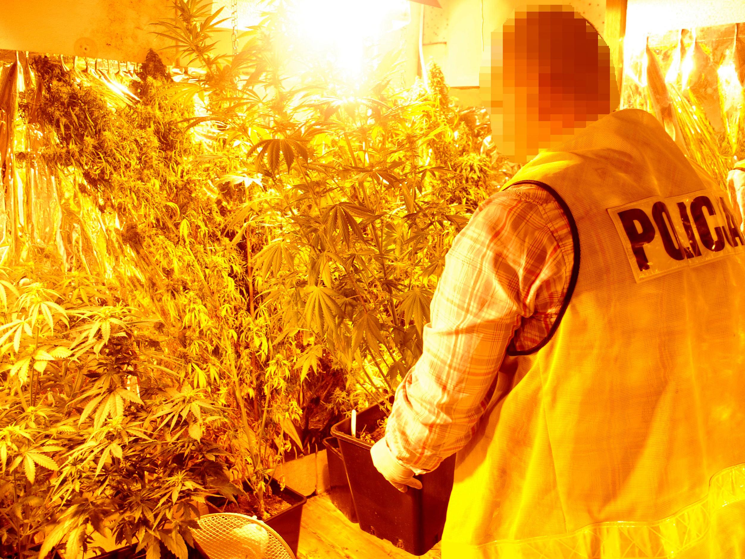 Wykryli plantację marihuany